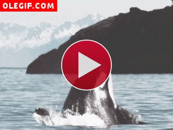 GIF: Una gran orca saltando en el mar