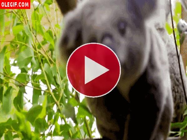 GIF: Qué lindo es este koala