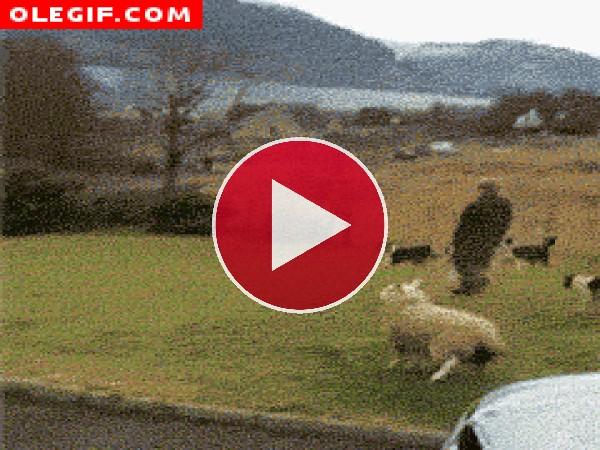 GIF: Oveja brincando tras el pastor