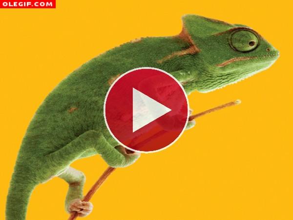 GIF: Este camaleón se mimetiza muy bien con el entorno