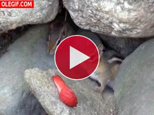 GIF: Mira a estas ardillas pelear por una fresa