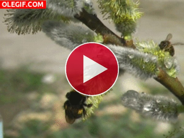 GIF: Abejas moviéndose sobre la rama de un árbol