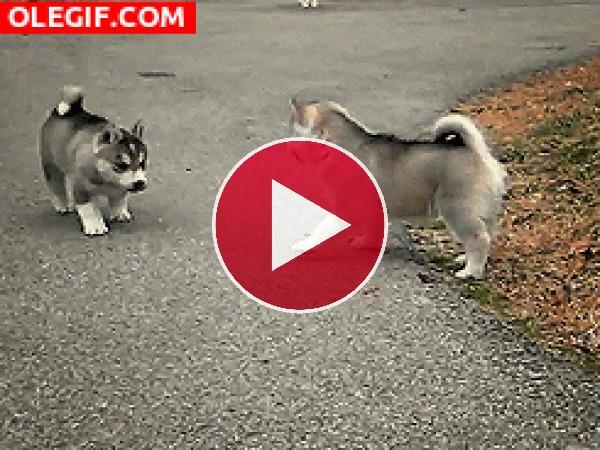 GIF: Unos huskys muy juguetones
