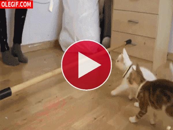 Gatos haciendo el baile del limbo