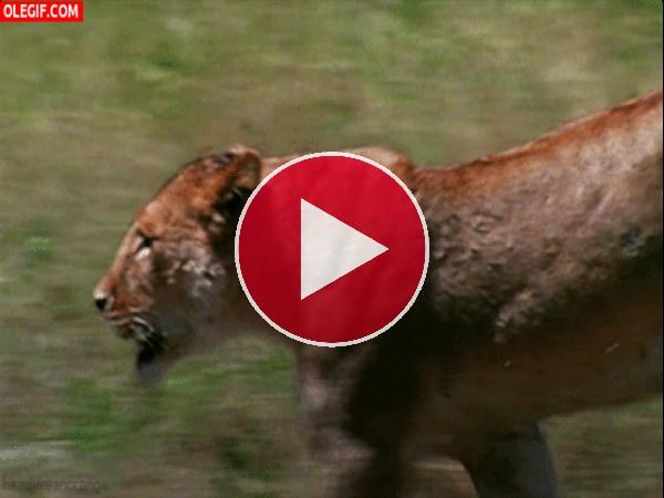 GIF: Leona corriendo hacia su presa