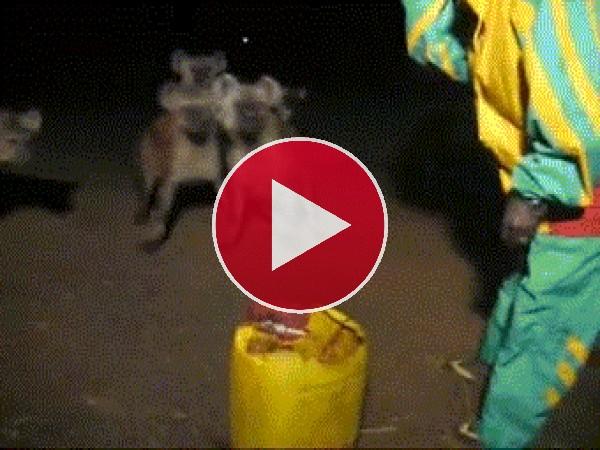 Hombre vacilando a unas hienas