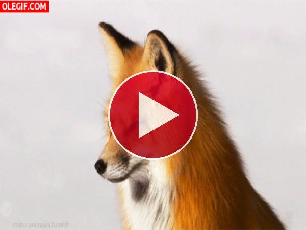 Un bonito zorro girando la cabeza