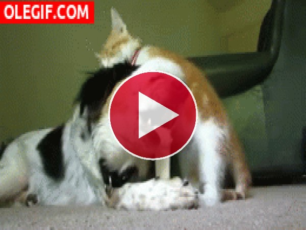 Este gato no deja tranquilo al perro