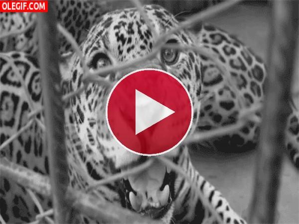 Un leopardo gruñendo