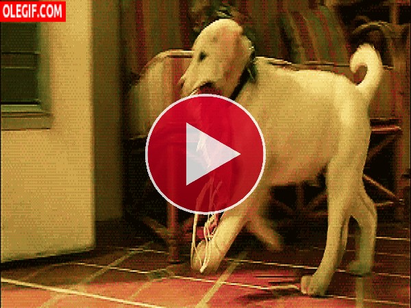 Este perro acaba de robar un sujetador