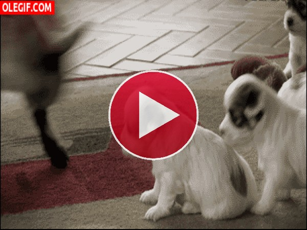 GIF: Cabritilla loca embistiendo a los cachorros