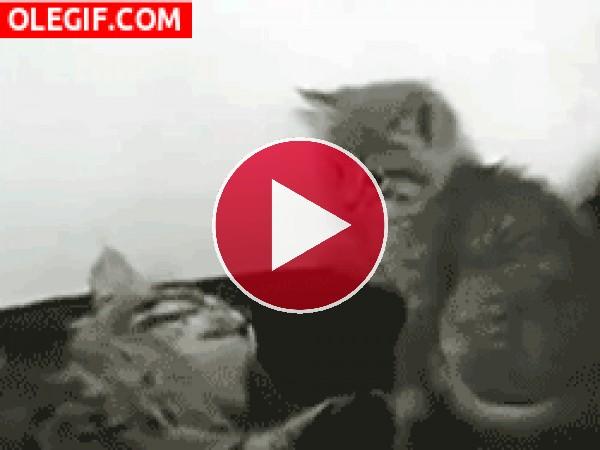 Sopapos entre gatos