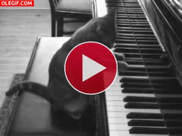 GIF: Mira al gato pianista