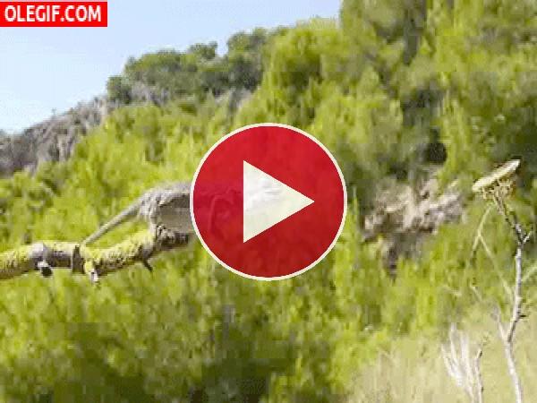 Este camaleón por poco se cae de la rama al cazar