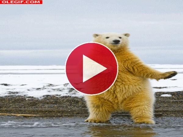 A este oso polar siempre le pillan bailando en la orilla