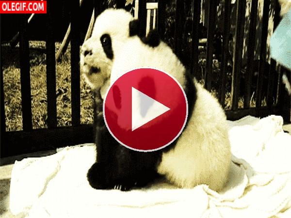 GIF: A estos panda les encanta abrazarse