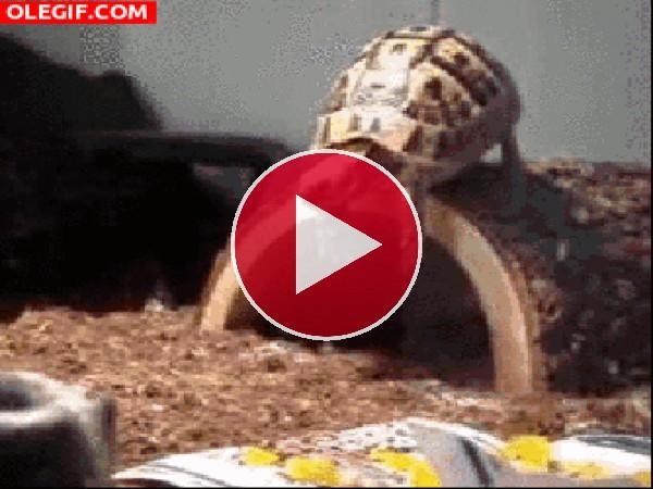 Tortuga haciendo el pino