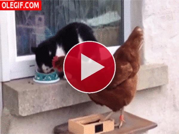 Este gato le da unas collejas a la gallina para que le deje comer tranquilo