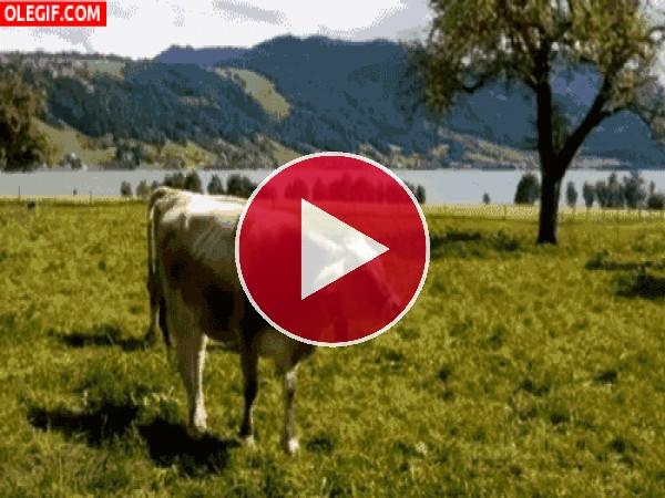 GIF: Qué feliz está la vaca rumia que te rumia