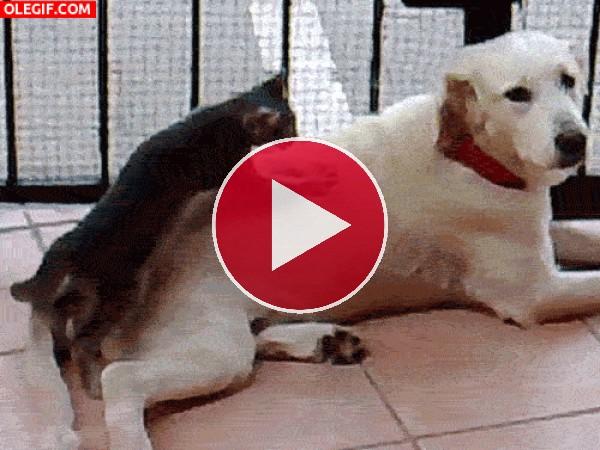 GIF: Qué buen masaje le esta dando este gato al perro