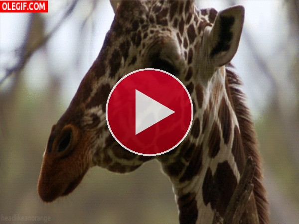 GIF: La mirada interesante de una jirafa