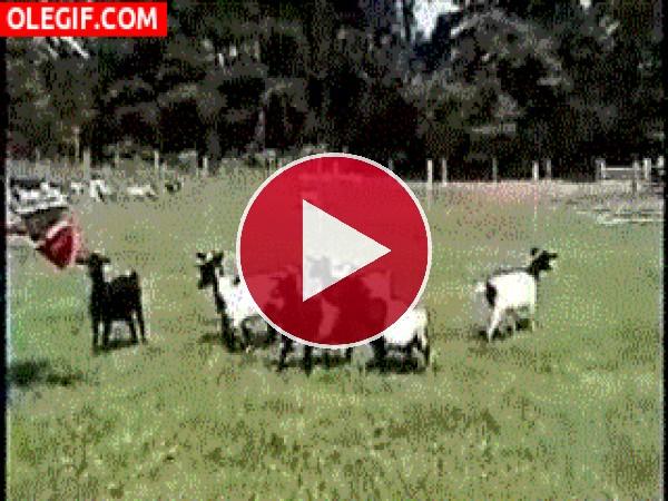 GIF: Derribando cabras con un paraguas