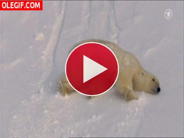 Oso polar cayendo por una ladera cubierta de nieve