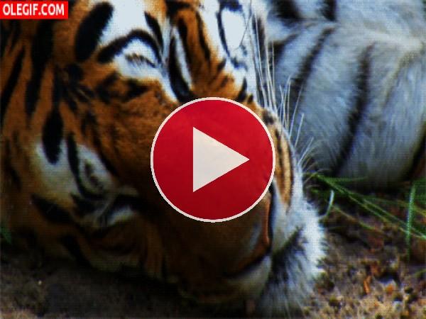 Tigre cerrando los ojos