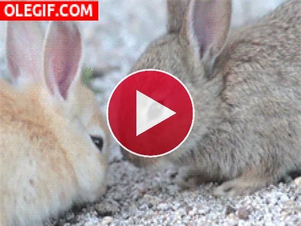 Dos conejos ligoteando