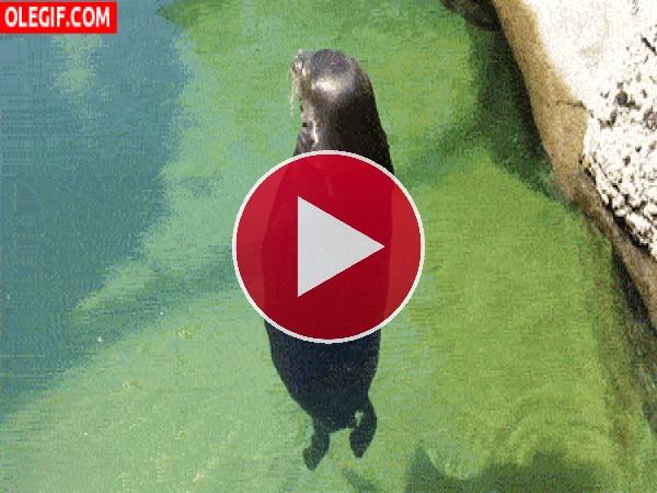 Este león marino se va a marear de tanto girar