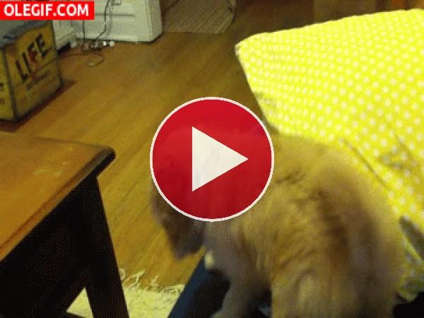 GIF: Vaya golpe se da el perro al caer del sofá