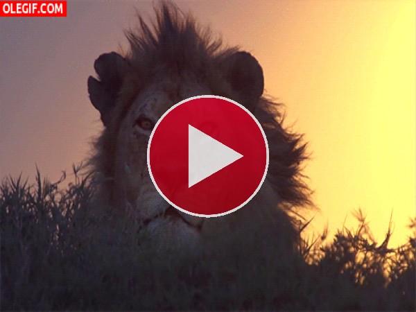 Viento moviendo la melena del león