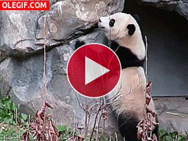 GIF: ¿Por qué sale corriendo este panda?