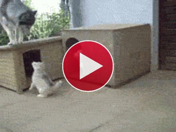 GIF: Estos cachorros de husky no entienden que mamá necesita un momento de tranquilidad