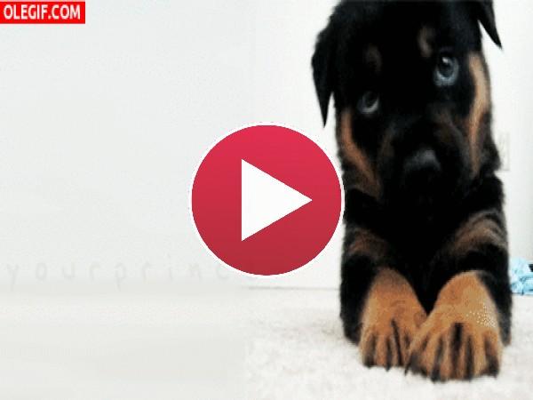 GIF: Este cachorro te quiere dar un mordisquito