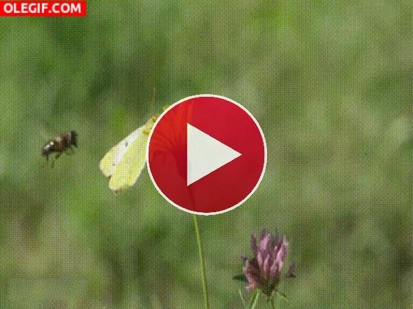 Abeja posándose por error en una mariposa