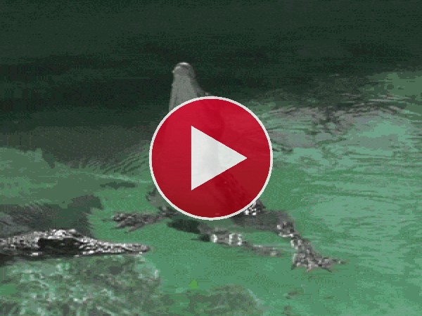 Mira cómo sale del agua este cocodrilo