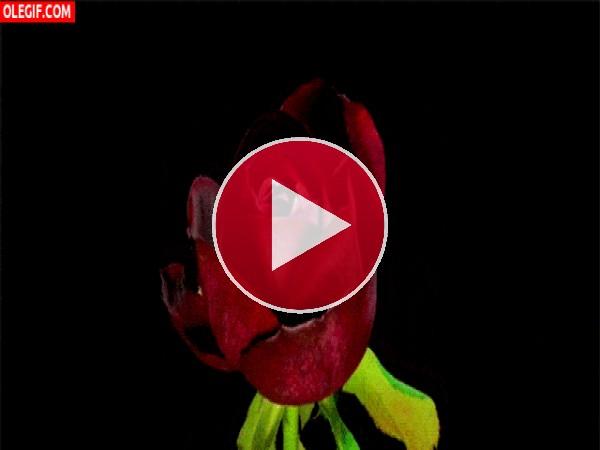 GIF: Flor de color burdeos abriendo todos sus pétalos