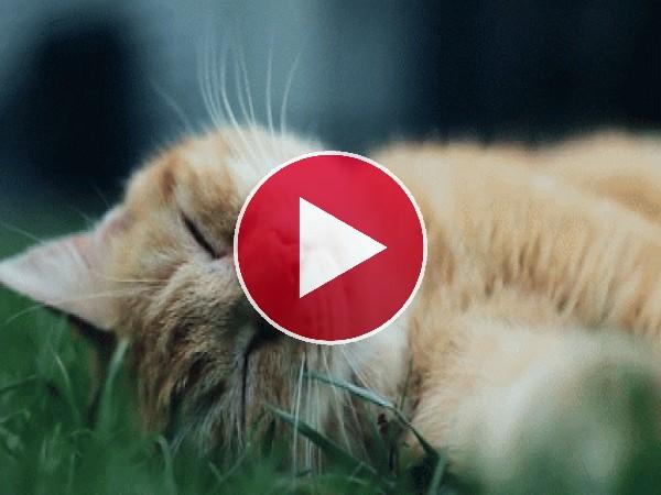 A este gato le gusta dormir sobre la hierba