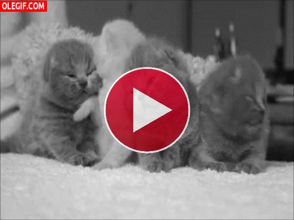 GIF: Gatitos amorosos