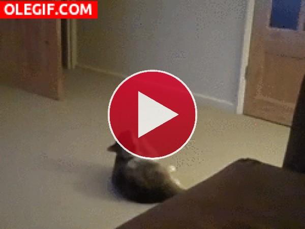 GIF: ¿Qué pulga le ha picado al gato?
