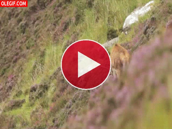 Importunando a un ciervo mientras come