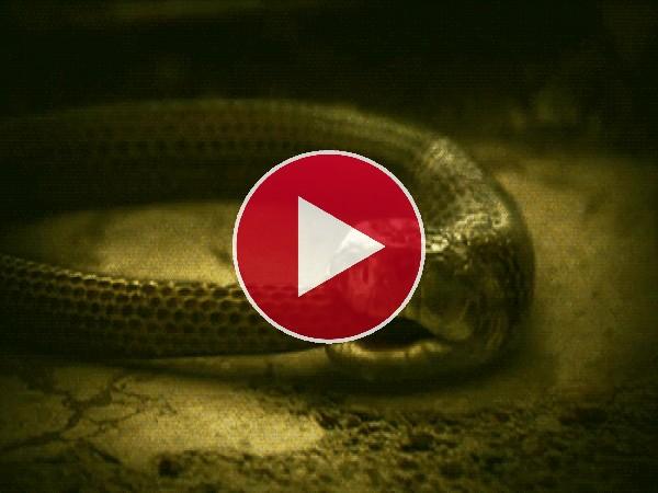 GIF: Esta serpiente se come a sí misma