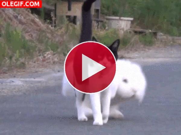 GIF: Conejo caminando junto a su amigo gatuno
