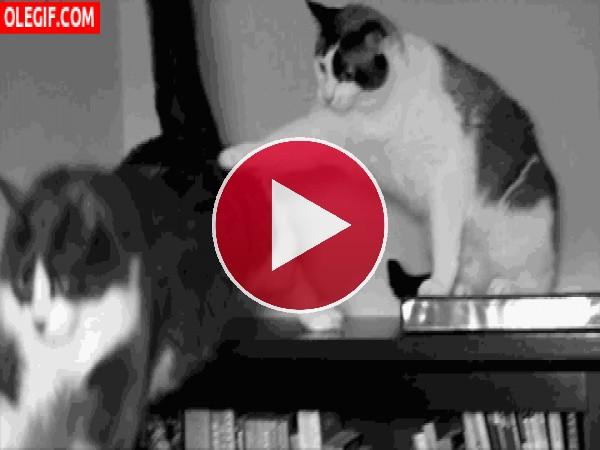 GIF: Este gato no siente mucha simpatia por su compañero