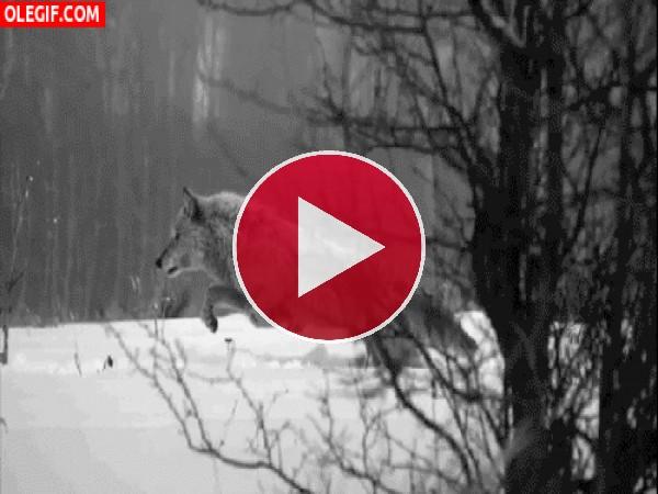 Lobo suspendido sobre la nieve