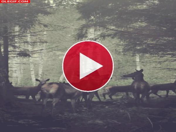 GIF: Ciervos vigilando el bosque