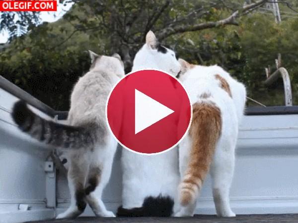 GIF: Cómo les gusta cotillear a los gatos