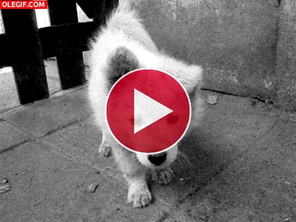 GIF: Un perro curioso