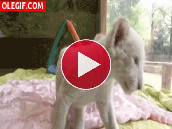 GIF: Mirad a estos cachorros de león blanco